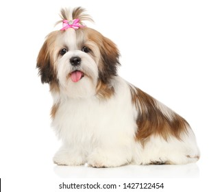 Portrait of a young and happy Shi-tzu dog puppy on a white background. Animal themes