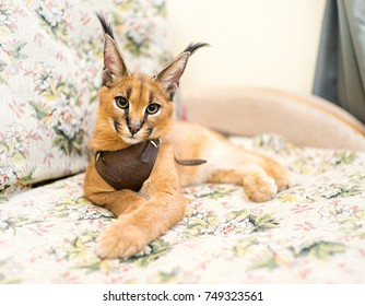 Portrait of a young home caracal (Barbary lynx). The animal is resting on the couch.