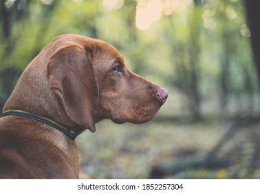 Portrait of a young Hungarian Vizsla (Magyar Vizsla). The dog is sitting in a forest. Blurry background with bokeh of sunlight.