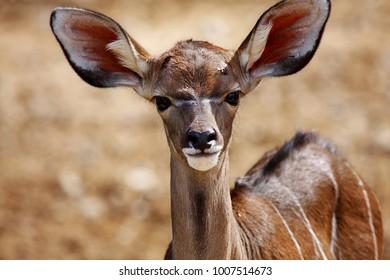 portrait of a young impala antelopes