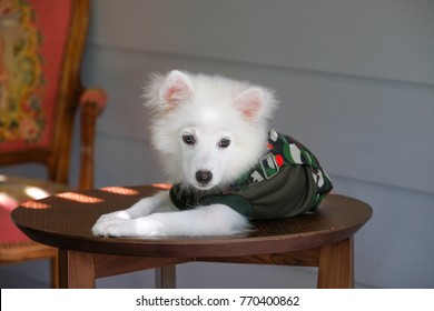 portrait of young japanese spitz dog wearing Military uniform and sleeping on wooden table