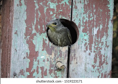 A portrait of a young juvenile grey-brown common sterling with light fluffy down on its head while looking out of a wooden nesting box and waiting for a parent