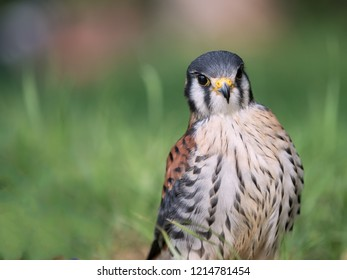 portrait of a young kestrel, showing his pride in a soft and green natural background