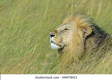 Portrait of a young lion in the Masai Mara park