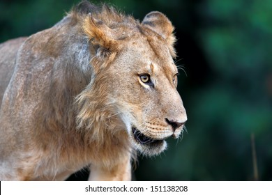 Portrait of a young Lion from Rekero Pride in Masai Mara, Kenya
