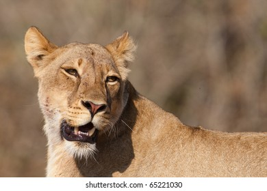 A portrait of a young lioness