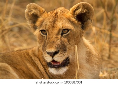 Portrait of a young Lioness as the pride relax in the late afternoon light. Lions are now under threat throughout their range mainly through loss of habitat and human conflict