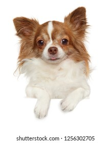 Portrait of a young longhaired, Chihuahua dog above banner, isolated on white background. Animal themes