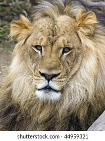 Portrait of a young male lion.