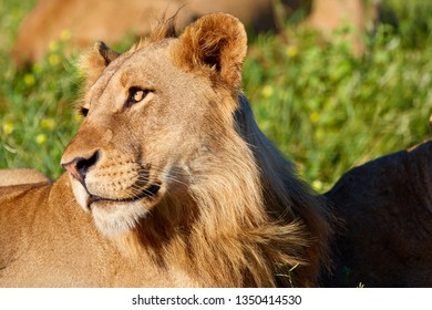 Portrait of young male lion in Kruger Park, South Africa