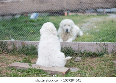 Portrait of a young maremma sheepdog puppy is waving by its paw to daddy through the fence in summer. Lovely white maremmano abruzzese puppy and big maremmano white dog.