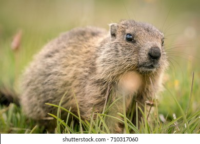Portrait of a young marmot