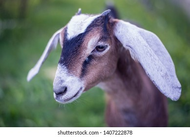 Portrait of a young Nubian breed goat on the background of green grass.