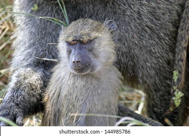 Portrait of a young olive baboon (Papio Anubis)