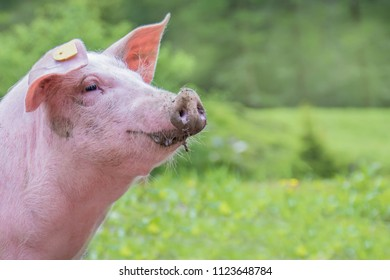 Portrait of a young pig on a green meadow