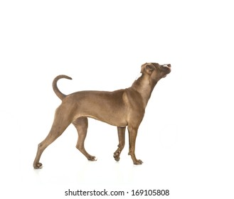 Portrait of a young Pitt Bull and Labrador Retriever mix standing in  profile and isolated on white.