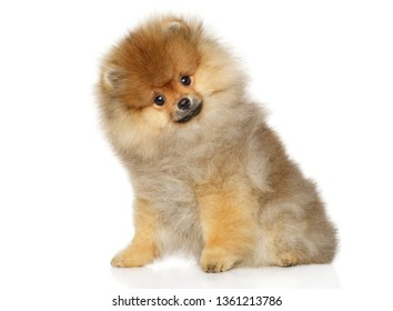 Portrait of a young Pomeranian Spitz puppy sits on a white background. Baby animal theme