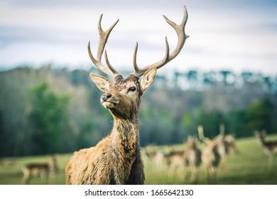 Portrait of young red deer standing in front of herd ... - Shutterstock ID 1665642130