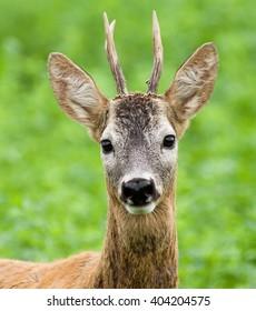 Portrait of a young roe deer buck