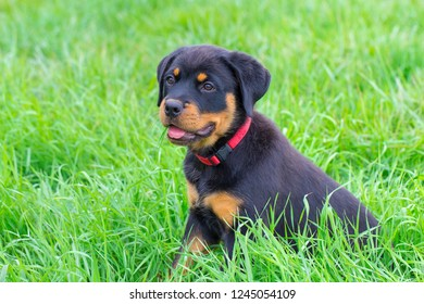 Portrait of young rottweiler dog sitting in green pasture