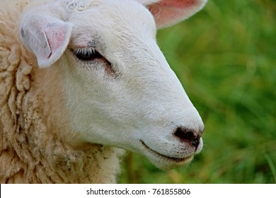 portrait of a young sheep