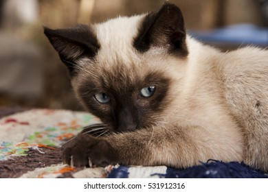 portrait of a young siamese kitten