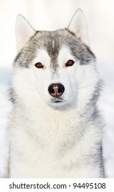 Portrait of young siberian husky sled dog at snowy winter outdoors