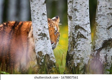 Portrait of young Siberian tiger, Panthera tigris altaica, looking at camera from behind birch tree.  Side view, close up, low angle photo. Tiger in  typical taiga birch forest. Spring in Russia