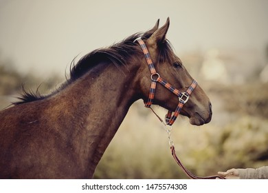 Portrait of a young sports horse with an asterisk on his forehead in a halter.