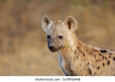 Portrait of a young spotted hyena (Crocuta crocuta), Kruger National Park, South Africa