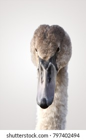 Portrait of a Young swan