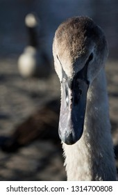 Portrait of a young swan cygnet