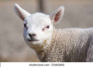 a portrait of a young, sweet lamb with an isolated, blurred background
