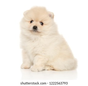 Portrait of a young Tiny Spitz puppy on a white background