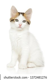 Portrait of a young Turkish Angora kitten on a white background. Baby animal theme