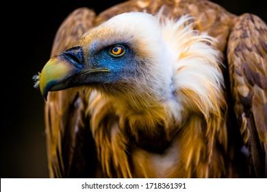 portrait of a young vulture