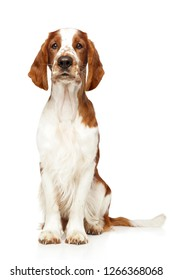 Portrait of a young Welsh Springer Spaniel on a white background