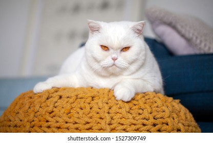 Portrait of a young white British Shorthair cat with orange eyes looking straight into the camera. He is laying on a modern ochre footstool made of   knitted dyed rope. Blue couch in the background.