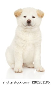Portrait of a young White Japanese Akita inu puppy. Baby animal theme, front view
