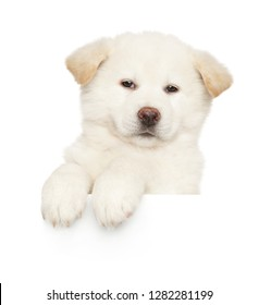 Portrait of a young white Japanese Akita-inu puppy above banner on white background. Baby animal theme
