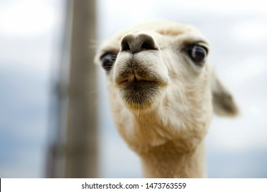 Portrait of young white llama with funny peaceful expression showing teeth, from below perspective.