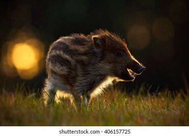 Portrait of young Wild boar, Sus scrofa, in the grass with evening back light, red autumn forest in background, animal in the grass habitat, France, wildlife