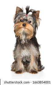 Portrait of a young Yorkshire Terrier puppy on a white background