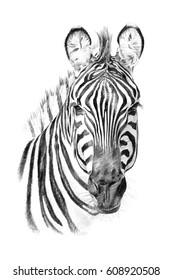 Portrait of zebra drawn by hand in pencil. Originals, no tracing