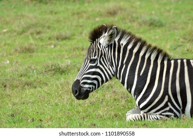 Portrait of a Zebra foal with tired facial expression resting in the wild in South Africa