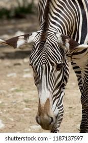 Portrait of a zebra hanging the ears