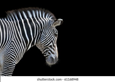 Portrait of Zebra isolated on a black background with space for text