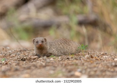 portrait of a zebra mongoose realxing in the sand in zimbabwe