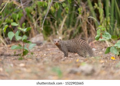 portrait of a zebra mongoose walking through the african savannah