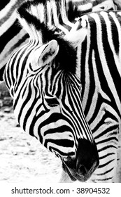 Portrait of a zebra with nice pattern. High contrast black and white conversation